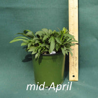 Fireworks Goldenrod in a 4 x 5 in. (32 fl. oz.) nursery container in mid-April