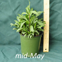 Fireworks Goldenrod in a 4 x 5 in. (32 fl. oz.) nursery container in mid-May
