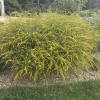 Fireworks Goldenrod plant starting to display its golden-yellow flowers in September