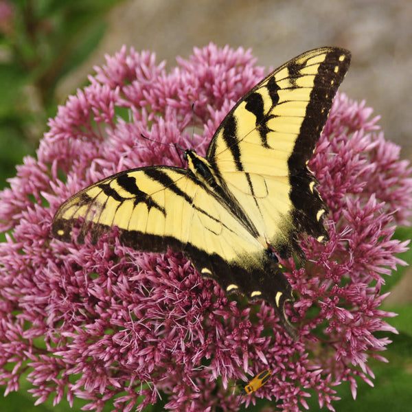 tiger swallowtail feeding on joe pye weed flowers