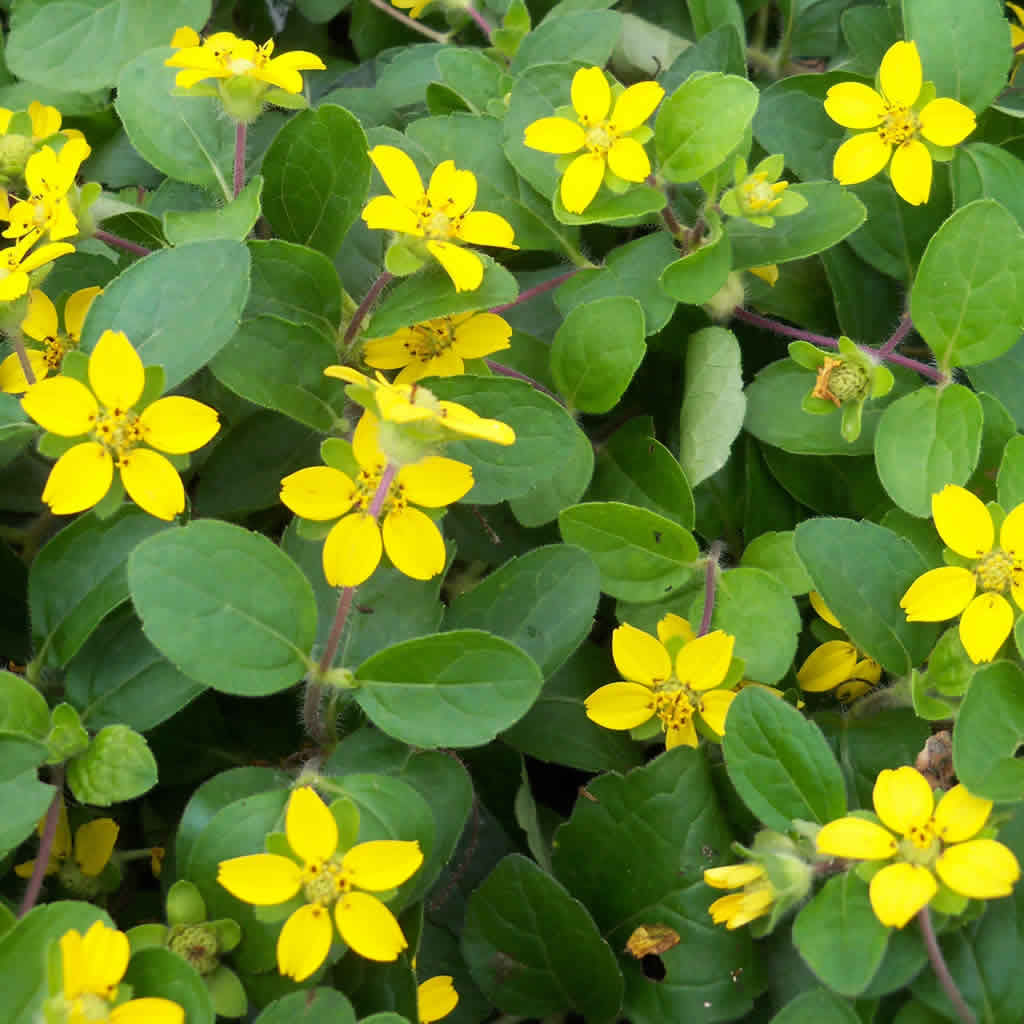 Green And Gold Plants For Sale Online Growing Wild Nursery