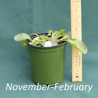 Green and Gold in a 4 x 5 in. (32 fl. oz.) nursery container from November through February