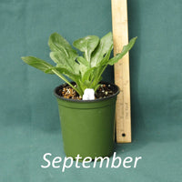 Green and Gold in a 4 x 5 in. (32 fl. oz.) nursery container during the month of September