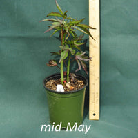 Scarlet Rose Mallow in a 4 x 5 in. (32 fl. oz.) nursery container in mid-May