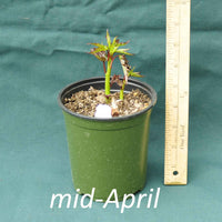 Scarlet Rose Mallow in a 4 x 5 in. (32 fl. oz.) nursery container in mid-April