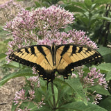 Tiger Swallowtail butterfly gathering nectar from the pink flowers of Hollow Joe Pye Weed