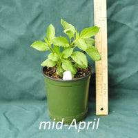 Hollow Joe Pye Weed in a 4 x 5 in. (32 fl. oz.) nursery container in mid-April