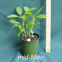 Hollow Joe Pye Weed in a 4 x 5 in. (32 fl. oz.) nursery container in mid-May