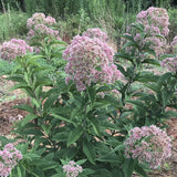 Hollow Joe Pye Weed flowering in mid-summer