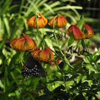 Lilium michauxii flower with a swallowtail butterfly upside gathering nectar