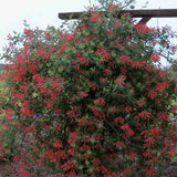 Lonicera Major Wheeler plant covered in crimson flowers