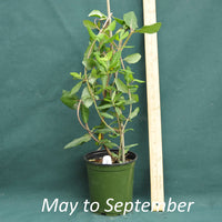 Lonicera sempervirens Major Wheeler in a 4 x 5 in. (32 fl. oz.) nursery container from May through September