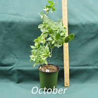 Lonicera Major Wheeler in a 4 x 5 in. (32 fl. oz.) nursery container in October