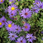 Close up of purple-blue flowers on a October Skies Aster plant