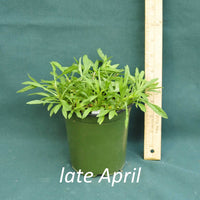October Skies Aster in a 4 x 5 in. (32 fl. oz.) nursery container in late April