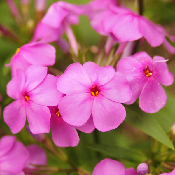 Close up of the flowers on Phlox Carolina