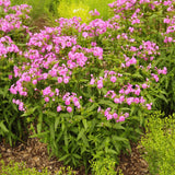 Carolina Phlox displaying its pink-purple flowers during the month of May