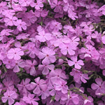 Close up of the bright pink flowers on Phlox nivalis