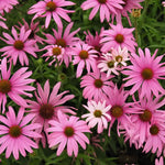 Echinacea 'Public Domain' flowers opening pale pink and turning darker pink as they age