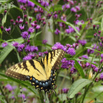Tiger swallowtail butterfly feeding from the purple flowers of ironweed