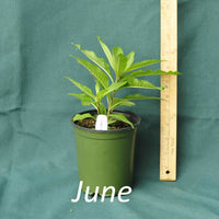 Purple Pillar Ironweed in a 4 x 5 in. (32 fl. oz.) nursery container in June