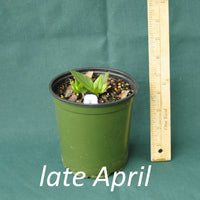 Purple Pillar Ironweed in a 4 x 5 in. (32 fl. oz.) nursery container in late April