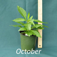 Purple Pillar Ironweed in a 4 x 5 in. (32 fl. oz.) nursery container during October