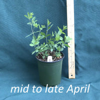 Purple Smoke False Indigo plants in a 4 x 5 in. (32 fl. oz.) nursery container in mid-late April