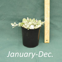 Pussytoes in a 4 x 5 in. (32 fl. oz.) nursery container between January and December