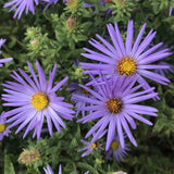 Close up of purple-blue flowers on a Raydon's Favorite Aster plant