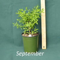 Raydon's Favorite Aster in a 4 x 5 in. (32 fl. oz.) nursery container during September