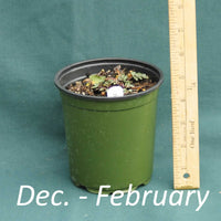 Rudbeckia Herbstsonne in a 4 x 5 in. (32 fl. oz.) nursery container from December through February