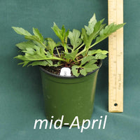Rudbeckia Herbstsonne in a 4 x 5 in. (32 fl. oz.) nursery container in mid-April