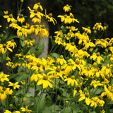 Autumn Sun Coneflower covered with yellow daisy-like flowers