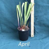 Sarracenia 'Night Sky' Pitcher Plant in a 4 x 5 in. (32 fl. oz.) nursery container during the month of April