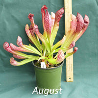 Scarlet Belle Pitcher Plant in a 4 x 5 in. (32 fl. oz.) nursery container during the month of August