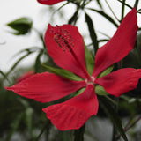The large scarlet flowers of Hibiscus coccineus are around six inches wide