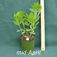 Screamin' Yellow False Indigo in a 4 x 5 in. (32 fl. oz.) nursery container in mid-April