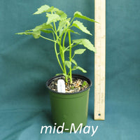 Seashore Mallow in a 4 x 5 in. (32 fl. oz.) nursery container in mid-May