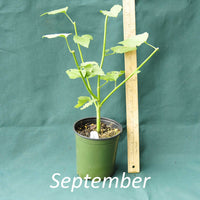 Seashore Mallow in a 4 x 5 in. (32 fl. oz.) nursery container during the month of September