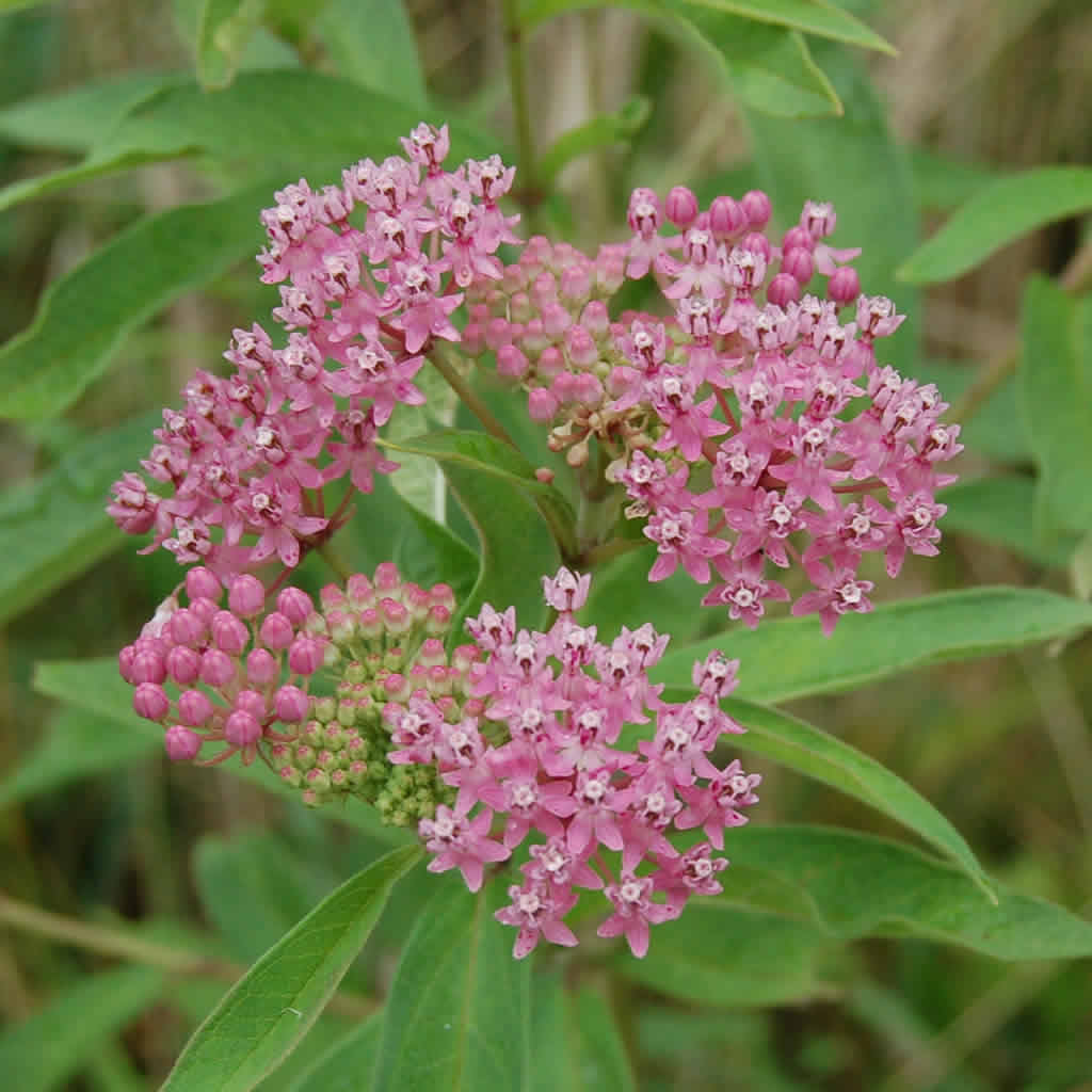 Swamp Milkweed Plants For Sale Online Growing Wild Nursery