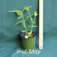 Asclepias incarnata in a 4 x 5 in. (32 fl. oz.) nursery container in mid-May