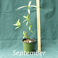 Swamp Milkweed in a 4 x 5 in. (32 fl. oz.) nursery container during the month of September