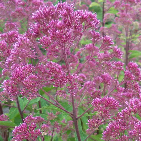 Flower clusters of Three Nerved Joe Pye Weed are made up of hundreds of small pink-purple flowers