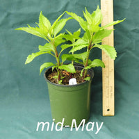 Three Nerve Joe Pye Weed in a 4 x 5 in. (32 fl. oz.) nursery container in mid-May