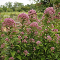 Three Nerve Joe Pye Weed showing its compact habit and sturdy stems