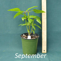 Three Nerve Joe Pye Weed in a 4 x 5 in. (32 fl. oz.) nursery container during September