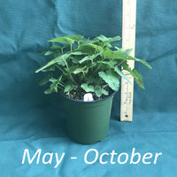 Tiarella wherryi in a 4x5 in. (32 fl. oz.) nursery container from May through October