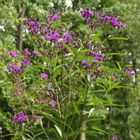 Vernonia 'Purple Pillar' showing its upright habit and dark purple flowers