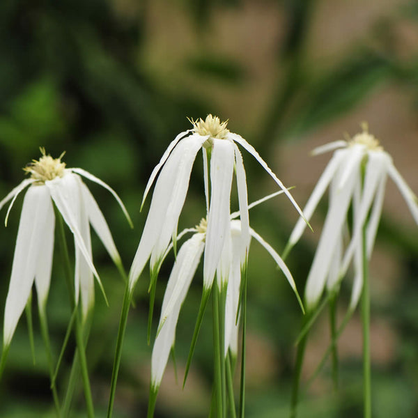 Pure white bracts on White Bracted Sedge look just like petals